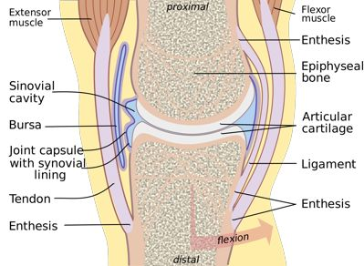 knee joint in detail