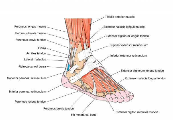 Image of the Foot Muscles & Tendons